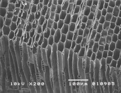 徳島すぎの電子顕微鏡写真