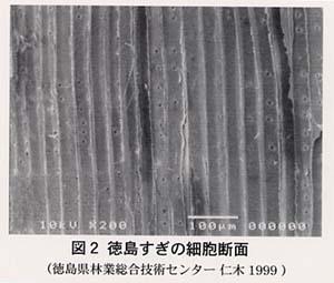 徳島すぎの細胞断面